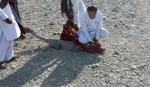 زندهگیری تمساح سرگردان در چابهار